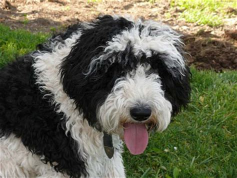 sheep doodle puppy sheepadoodle pictures to pin on pinsdaddy