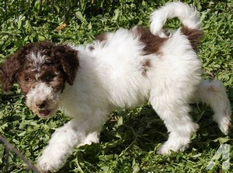 goldendoodle puppies for sale in mn moyan multi generation parti goldendoodle puppies for sale in hammond minnesota