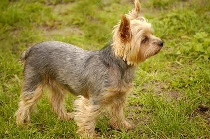 yorkie ear infection symptoms yorkie with floppy ears breeds picture