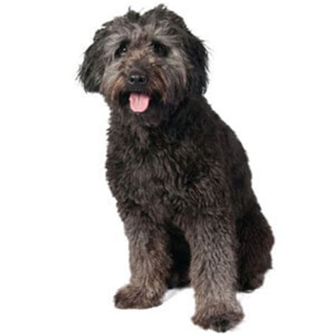 bordoodle puppies bordoodle breed 187 information pictures more