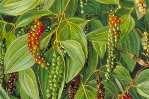 How To Grow Black Pepper( Piper nigrum) ? Let's Talk Agric