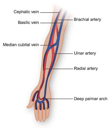 arm veins diagram vasculature of the arm anatomy diagram by