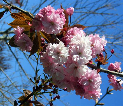 cherry blossom tree l white and pink cherry blossom flowers photograph by l m