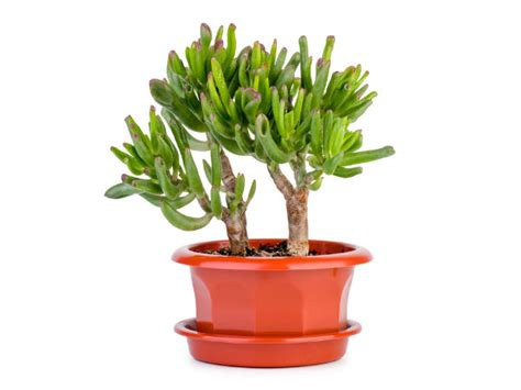 lucky plants for your office desk boldsky