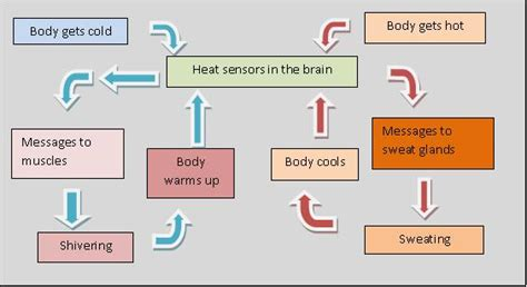 thermoregulation flowchart diagram of thermoregulation 28 images diagram of