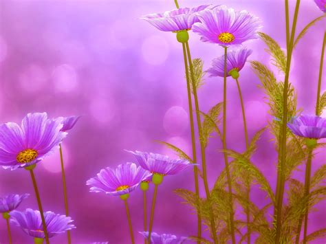 imagenes de rosas violetas fondos de pantalla 2800x2100 matricaria violeta color