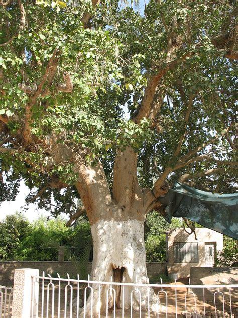 zacchaeus sycamore tree  jericho jericho sycamore