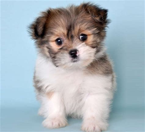 teacup pomeranian chihuahua mix for sale pomeranian shih tzu gt gt we just got one cuteness doggies and