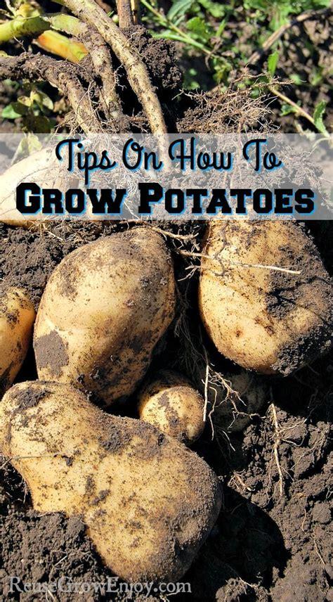 tips on how to grow potatoes reuse grow enjoy