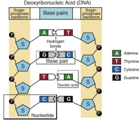 cadenas translation into english a nucleotide is the basic structural unit and building