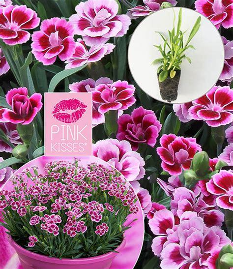 Standort Nelken by Stauden Nelke Pink Kisses 174 Stauden Winterhart Bei