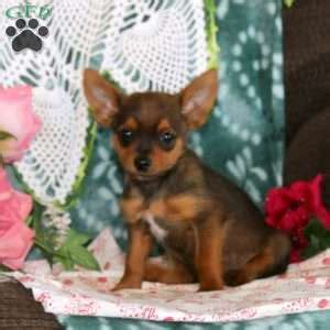 yorkie puppies for sale in pa 300 yorkie pom puppies for sale greenfield puppies