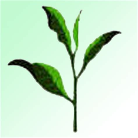 Teh Pucuk Dari Pabrik proses pembuatan produksi teh dari awal hingga akhir wahw33d