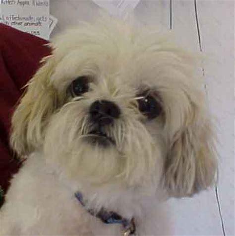 shih tzu rescue ct shih tzu rescue adopt lhasa apso adoption