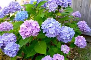 hydrangeas flowers hydrangea in bloom pop circumstance guidebook for beautiful living