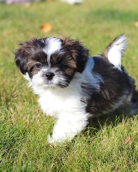 shih tzu calgary 17 best ideas about shichon puppies for sale on puppy teddy