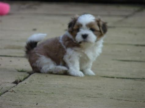 lhasa apso puppies for adoption lhasa apso puppies for sale gloucester gloucestershire pets4homes