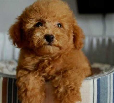 puppies that look like bears a breed that puppy that looks like a teddy breeds picture