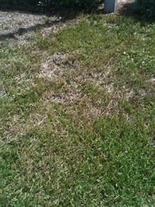 grub worms damage st augustine