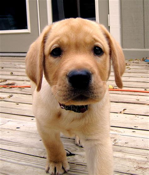 golden lab puppies golden retriever puppies vs yellow lab puppies hfboards