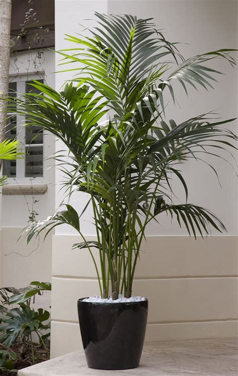 plants that thrive in artificial light a premium plant kentia palm is an elegant plant that