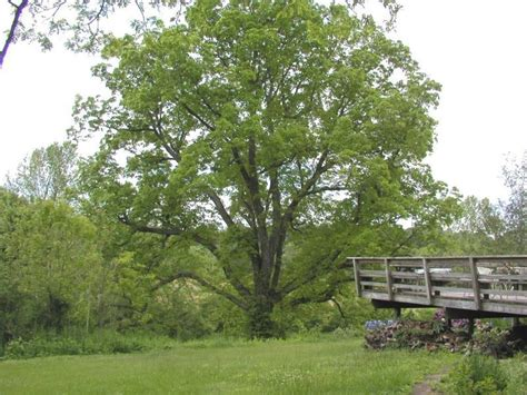 hickory tree pictures