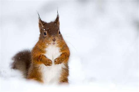 scoiattoli volanti scoiattolo volante foto olycom quotidianonet foto