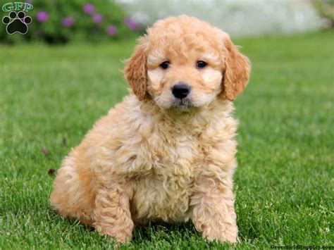 Chris Fisher Is A Mini Goldendoodle Breeder From