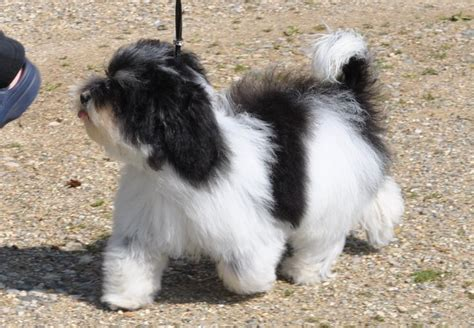 havanese oklahoma 37 best havanese dogs and pups images on havanese puppies adorable