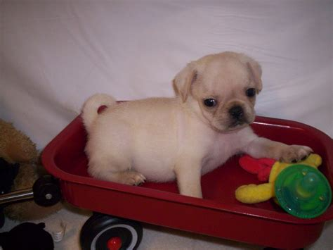 blue pug for sale pug for sale breeds picture