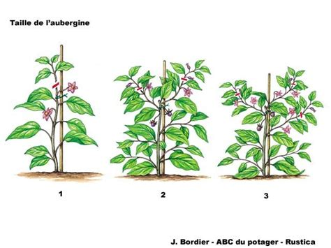 Plantation Aubergine Et Poivron by La Taille De L Aubergine Au Potager Potager