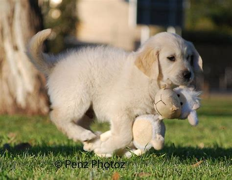 best place to buy golden retriever puppies 1000 images about places to visit on the golden best dogs and golden