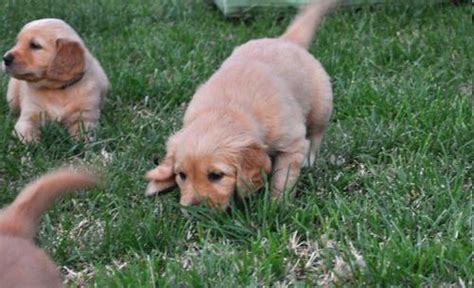 golden retriever calgary golden retriever puppies for sale calgary dogs for sale puppies for sale calgary