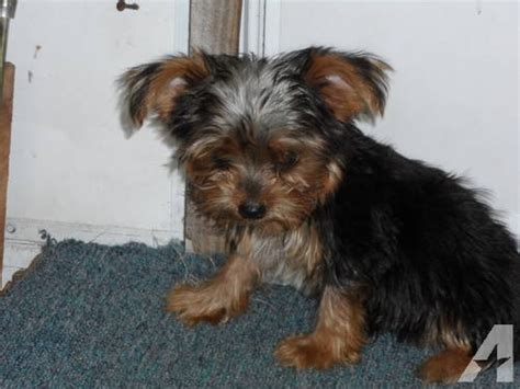 yorkie wanted yorkies wanted adults and pups for sale in homosassa florida classified