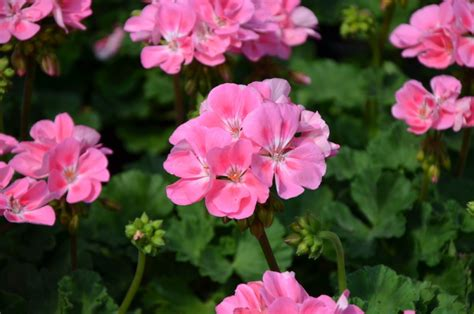 flowers that keep mosquitoes away 4 plants that will keep mosquitoes away from you and your