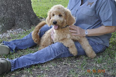 mini goldendoodles houston just labs kennels home of mini goldendoodles mini
