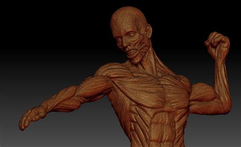 male ecorche human anatomy reference 3d model 3d male anatomy ecorche 3d model obj ztl cgtrader com