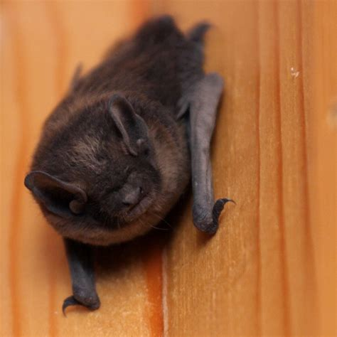 bat in the house bat in house what to do effective wildlife solutions