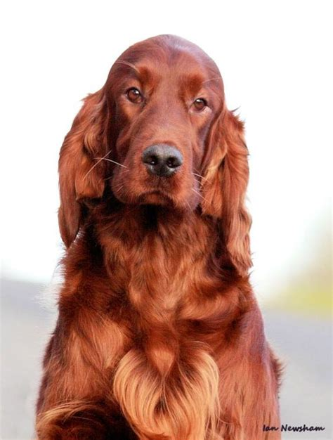 irish setter dog irish setter it s soooo pretty if i had one my dog and