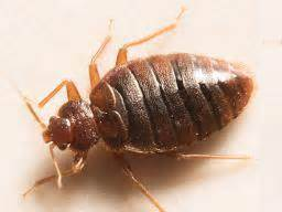 removing bed bugs bedbugs symptoms treatment and removal