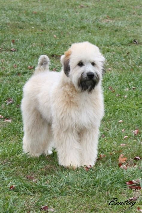 soft haired wheaten terrier puppy soft coated wheaten terrier pictures