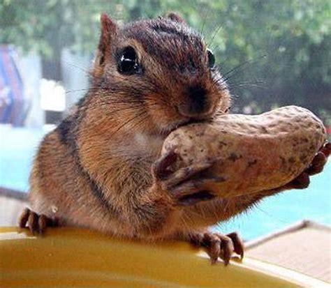 squirrel vs peanut