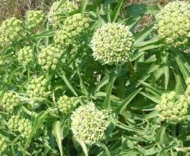got milkweed updated plant guide for central and south