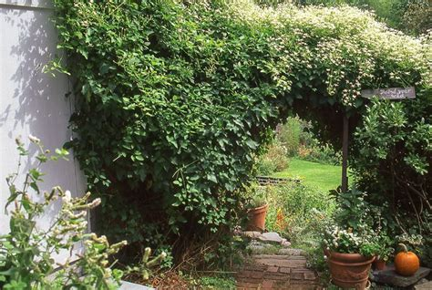 climbing plants for privacy 252 best images about garden privacy on decks