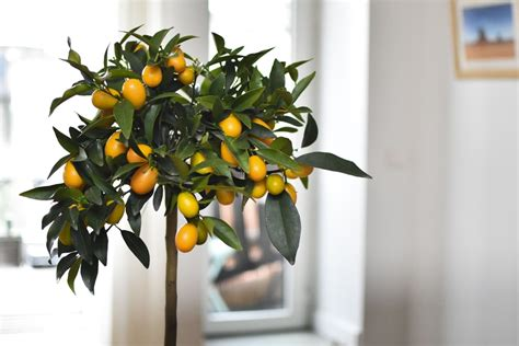 bonnies garden indoor citrus trees  great big