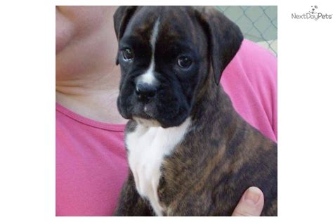 puppies for sale in muskegon mi boxer for sale for 999 near muskegon michigan 74910feb ca31