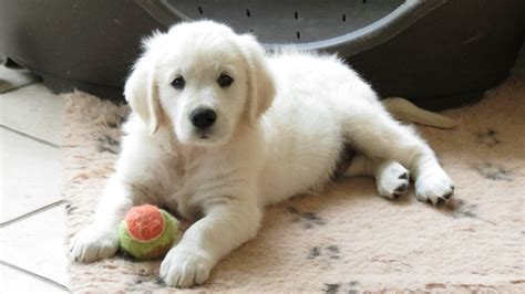 golden retriever a vendre chiot eleveur de chiens golden retriever