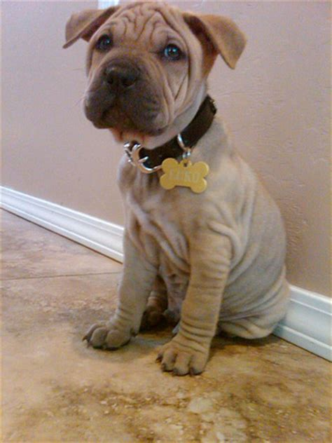 shar pei mix puppies shar pei pitbull mix flickr photo