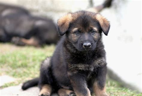 pictures of german shepherd puppies at 8 weeks german shepherd puppy weight at 8 weeks dogs our friends photo