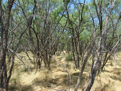 Economics Of Using Mesquite For Electricity Dependent On